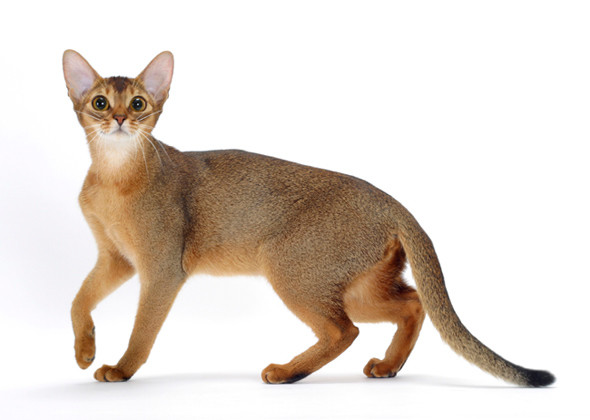 Selecting the cat Breed – Which Cat Breed fits your needs?