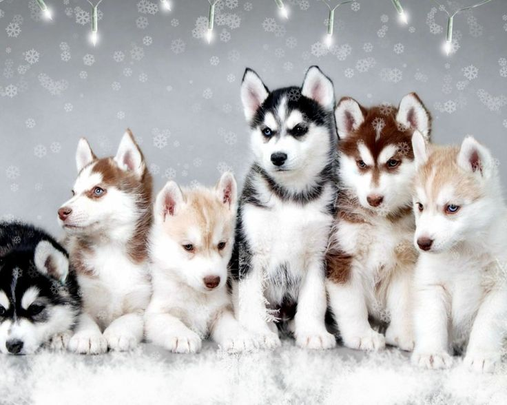 Five Great Reasons to Own or Adopt a Pomsky