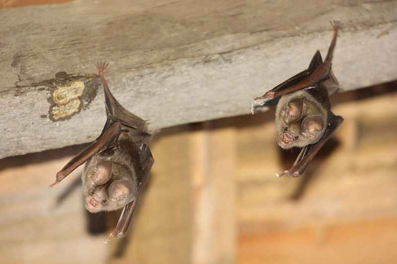 Why You Don't Want Bats In Your Home